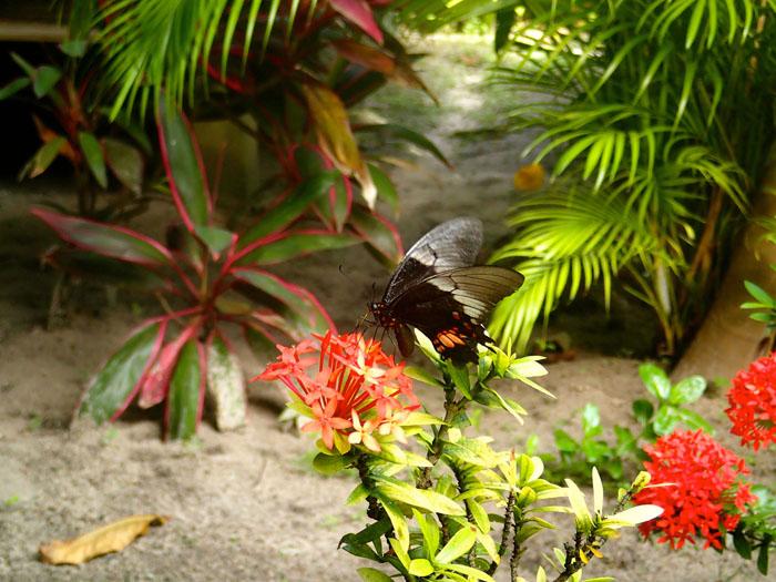 Papillon pousada chez max