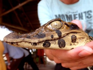 Photo macro d'un caiman