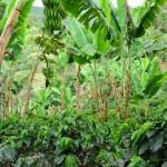 Plantations de cafe entourés de bananiers