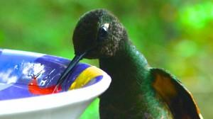 Colibri savourant son eau sucrée