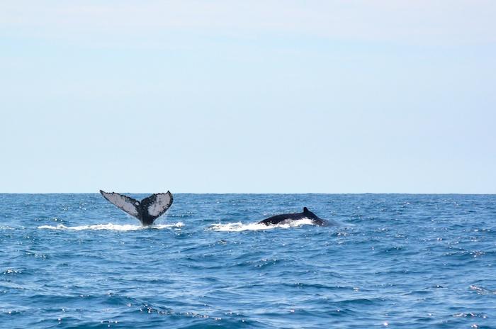 Observation des baleines à Puerto Lopez